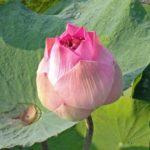 c_Lotusblüte_15.1.20