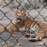 f_Bengalischer Tiger
